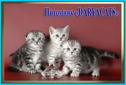 Британские котята серебристых окрасов из питомника Daryacats