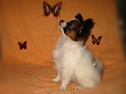 Папильон,  собака-бабочка
